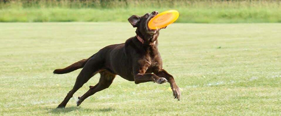UpDog Disc Dog